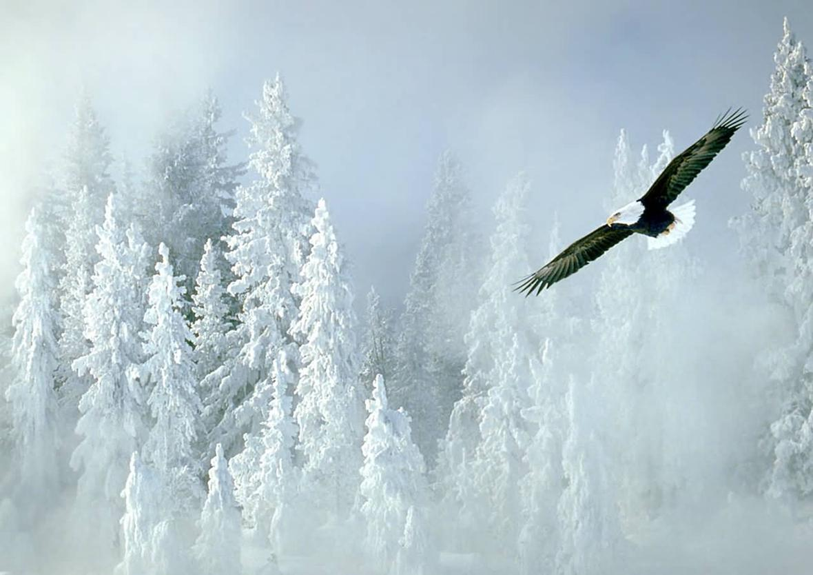 Bald_Eagle_and_Snowy_Pines-1280x1024.jpg